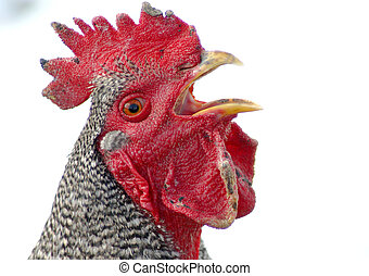 Yapper - Barred Rock Rooster