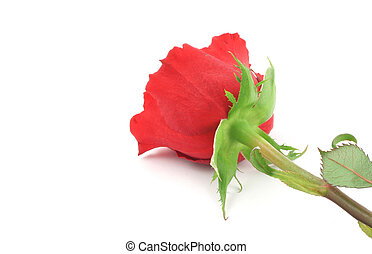 single rose from a d