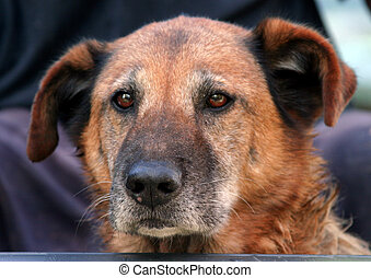 Old Dog - Close up of older, graying dog