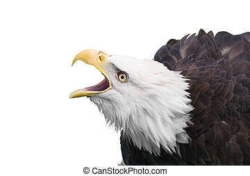Bald eagle - isolated bold eagle