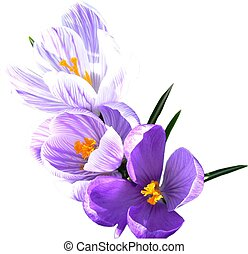 Isolated crocus\\\' - Three beautiful purple and white...