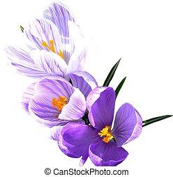 Isolated crocus\\\' - Three beautiful purple and white...