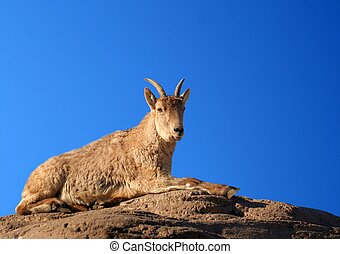Caucasian Tur - A sheep (Caucasian Tur) sitting on a  ledge
