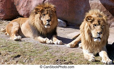 Lions - Two male lions
