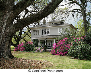 The Old Homestead - ancient live oaks surround turn of the...