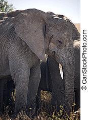 053, 動物, 象