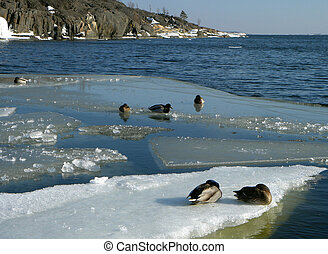 Ducks on an ice floe
