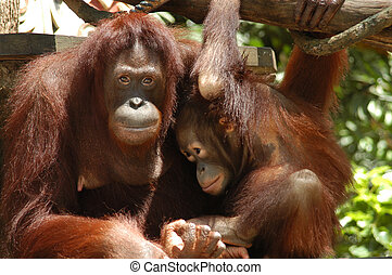 Orang Utan - Mother child