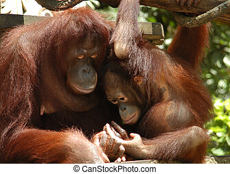 Orang Utan - Mother & child , tender moment.