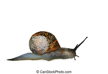 Slithering Snail - Snail isolated on a white background.
