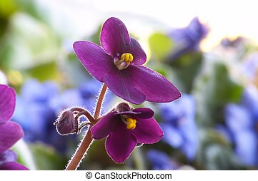 African violet - Macro of African violet flower