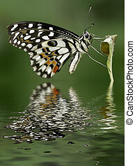 Citrus Swallowtail - Citrus swallowtail butterfly profile...