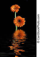 Two Gerbera - Two gerbera against a black background...