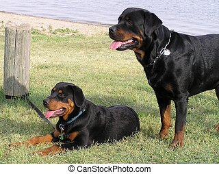 Rottweiler Beach - Purebred adult male Rottweiler female pup...