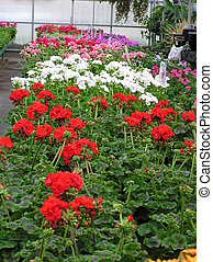 Geraniums For Sale - An entire greenhouse bench covered with...