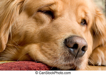 Beautiful Golden Retriever - Macro photo of a very beautiful...
