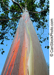 Eucalyptus tree in Thailand