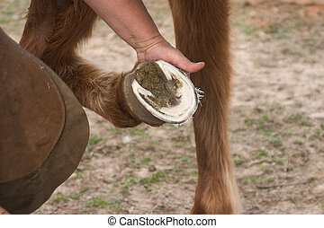Trimmed Hoof - Freshly trimmed horses hoof being held by a...
