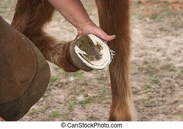 Trimmed Hoof - Freshly trimmed horses hoof being held by a...