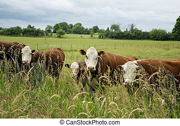 cows standing on the meadow and pasturing