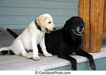 Old And New 2 - Young and old labs