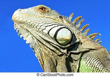 Iguana - A beautiflu iguana against the blue sky.