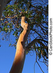 "Arbutus tree - The beautiful \""skin\\\"" of the arbustus..."