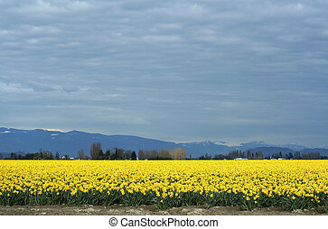 Yellow Daffodils field