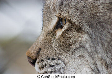 Eurasian Lynx Eye - a closeup of a eurasian lynx eye, mouth...