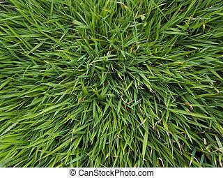 Grass - Background - Close-up of grass