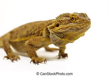 Bearded Dragon - yellow bearded dragon on white background