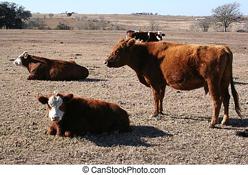 Cows - A herd of cows grazing and sitting on a farm.