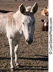 Donkey and Cows - A donkey on a farm. There is a herd of...