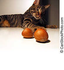 cat takin hazelnuts - cat taking two hazelnuts in a table