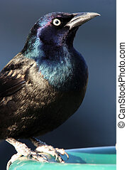 Common Grackle Closeup - Beautiful Common Grackle Closeup...