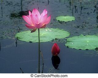 Lotus - lotus flower