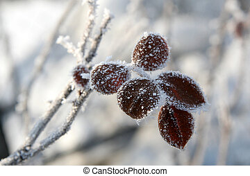 Winter rose - Frost on a rose