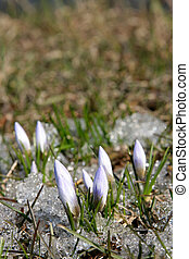 First crocus - Crocus in the grass