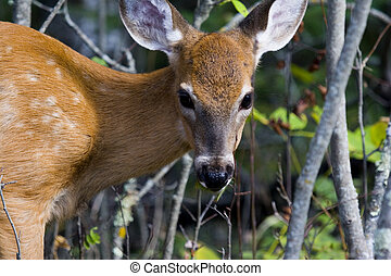 Fawn Closeup - a headshot of a white tailed deer fawn