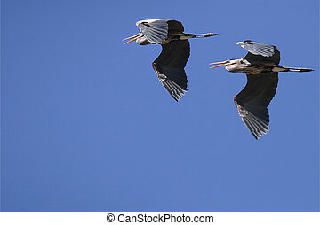 Formation Flying - two great blue herons, friends, partners,...