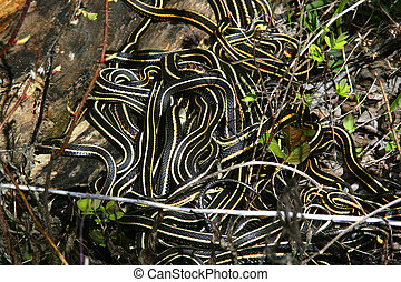 snakes - a ball of garder snakes
