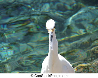 White Crane Funny - White crane stands facing camera with...