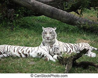 White tigers - Two White siberian tigers relax n the sun