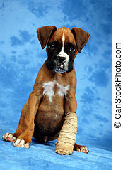 Get well soon - Boxer puppy