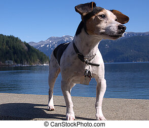 Jack Russell terrier close up