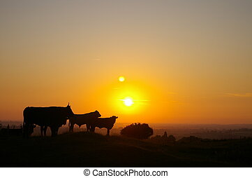 Normandy Cows - Three cows silhoutted on a normandy hillside...
