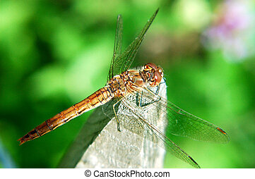 Dragonfly, damselfly - Colorful dragonfly, damselfly resting...