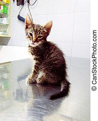 gato, Veterinario