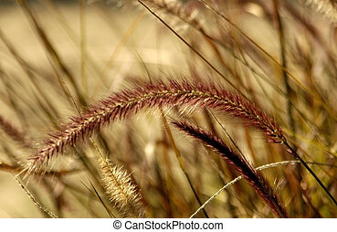 Purple Fountain Grass - A field of purple fountain grass at...