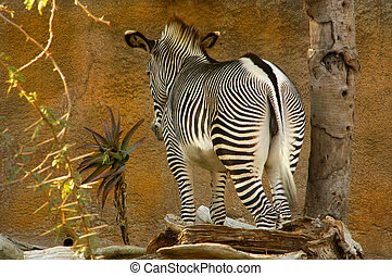 Zebra Impasse - A zebra is at an impasse infront of a tall...